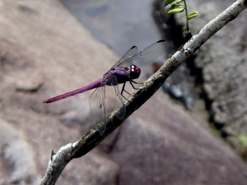 A pretty purple dragonfly I observed at my field site in Puerto Rico.
