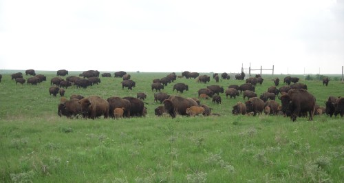 Bison at Konza Prairie.  A health dung beetle community contributes to sustainable management of bison and other large herbivore populations.